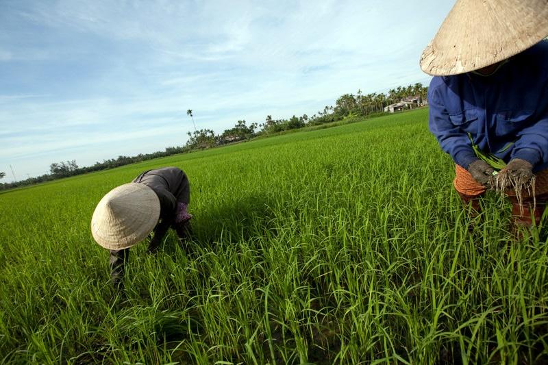 vetnam-hoi-rice-field