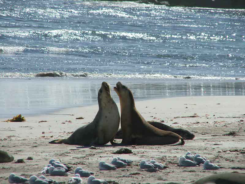 seal-kangaroo-island