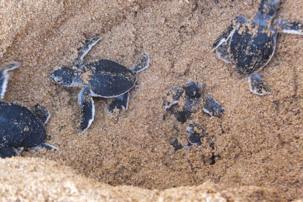 sri-lanka-baby-turtle